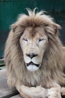 ライオン (2)
